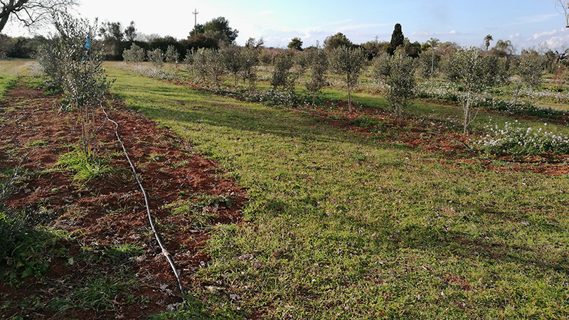 PARTE DE LA NUEVA PLANTACIÓN DE OLIVO DESPUÉS DE LA PÉRDIDA DE MÁS DE 100 PLANTAS DE OLIVOS, DEBIDO A LA XYLELLA