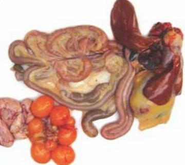 Allevemento - Intestino della gallina ovaiola alimentata con acqua bioattiva DMBio