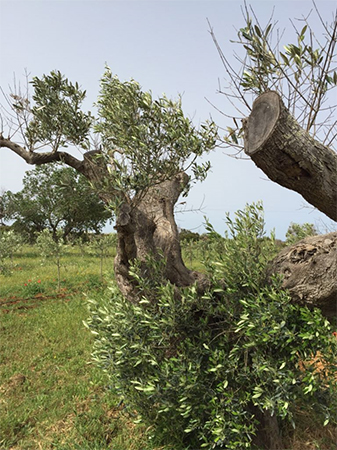 Ramas de olivo regeneradas después de tres meses de tratamiento con agua inmune - bioactiva DMBio